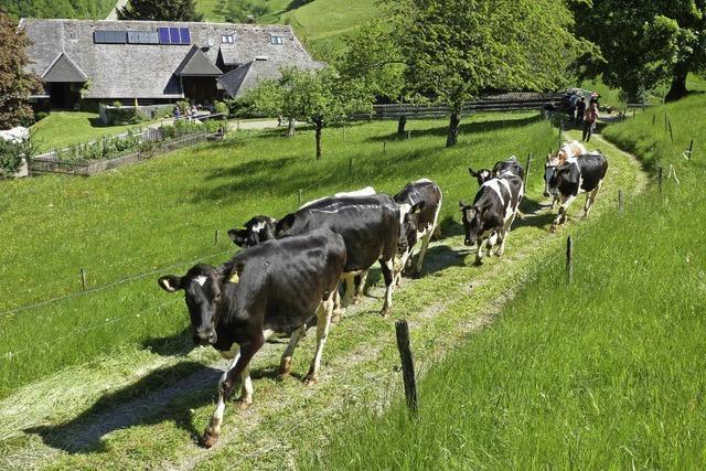 Weideauftrieb in Münstertal - Freiluftsaison für Rinder hat begonnen