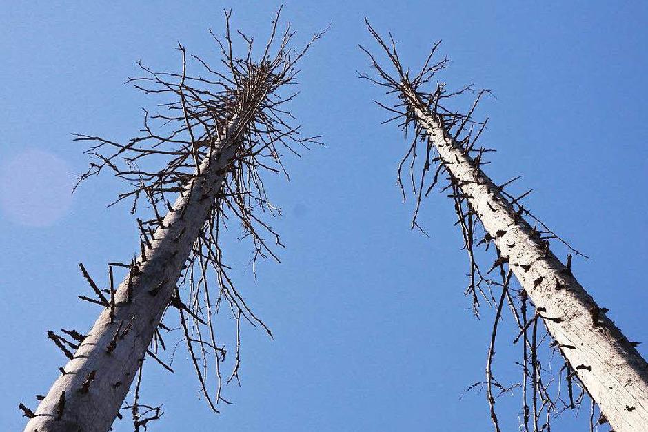 Kahle, weiße Baumskelette ragen in den blauen Himmel. (Foto: Max Schuler)