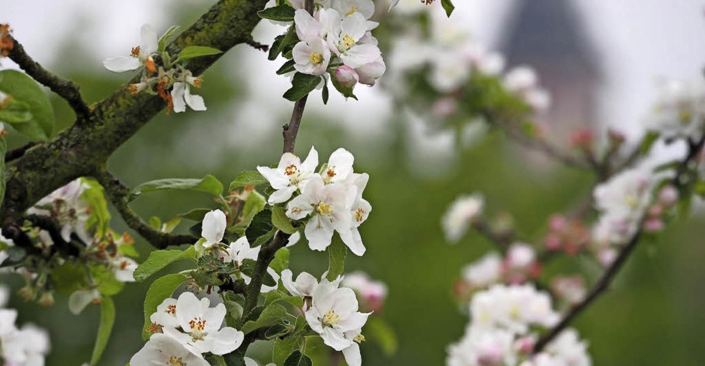 Es blüht in Ettenheim: Die Blüten des ...t.-Bartholomäus-Kirche im Hintergrund.    Foto: Susanne Gilg