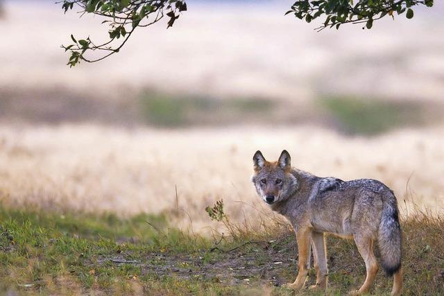 Der Wolf kehrt zurück