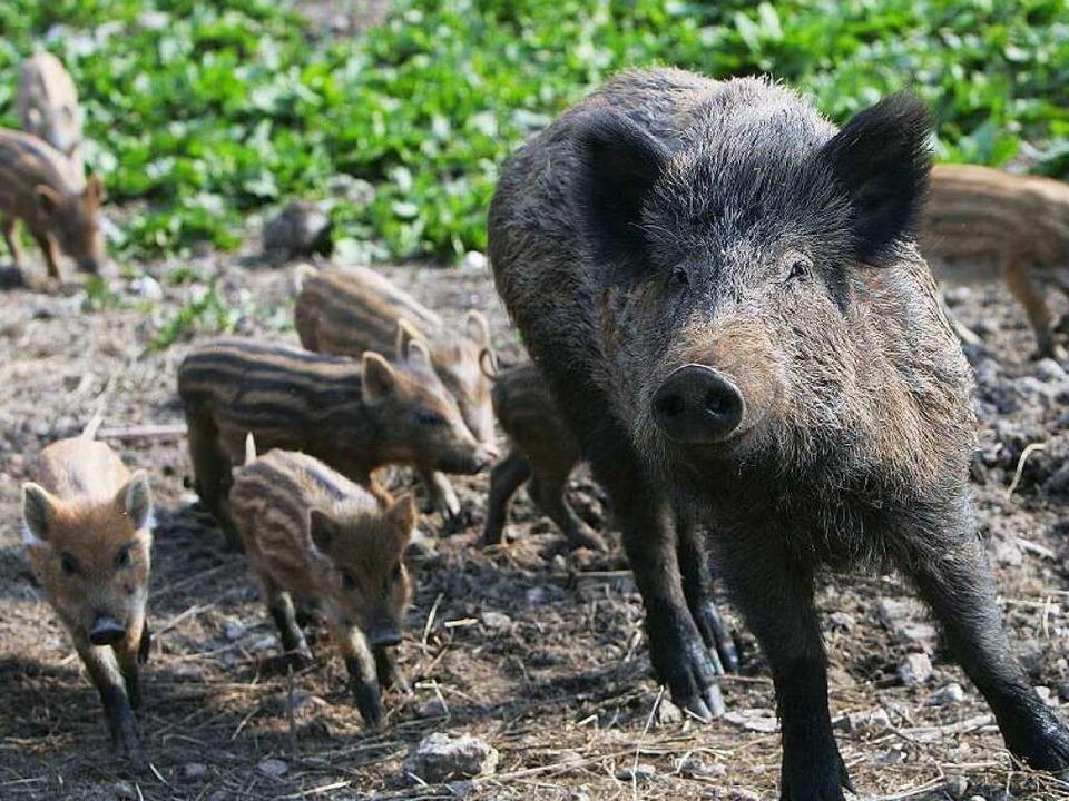 wenn's um wildschweine geht ist freiburg nicht berlin