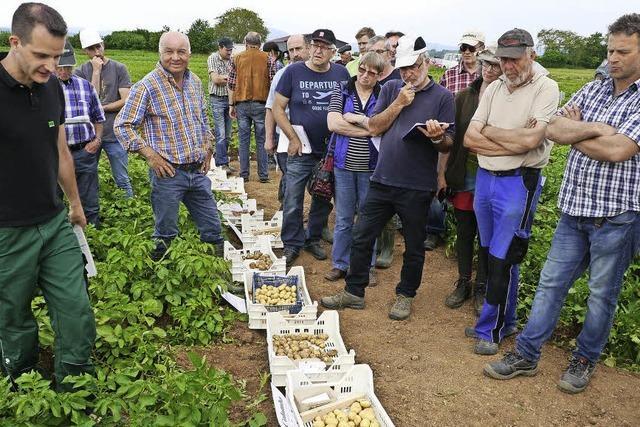 70 Tage nach der Pflanzung gibt es die ersten Frühkartoffeln