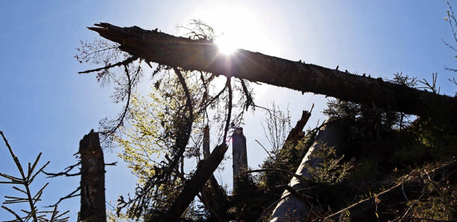 Fichten halten die Sonne nicht mehr davon ab, den Waldboden zu erwärmen.    Foto: Max Schuler