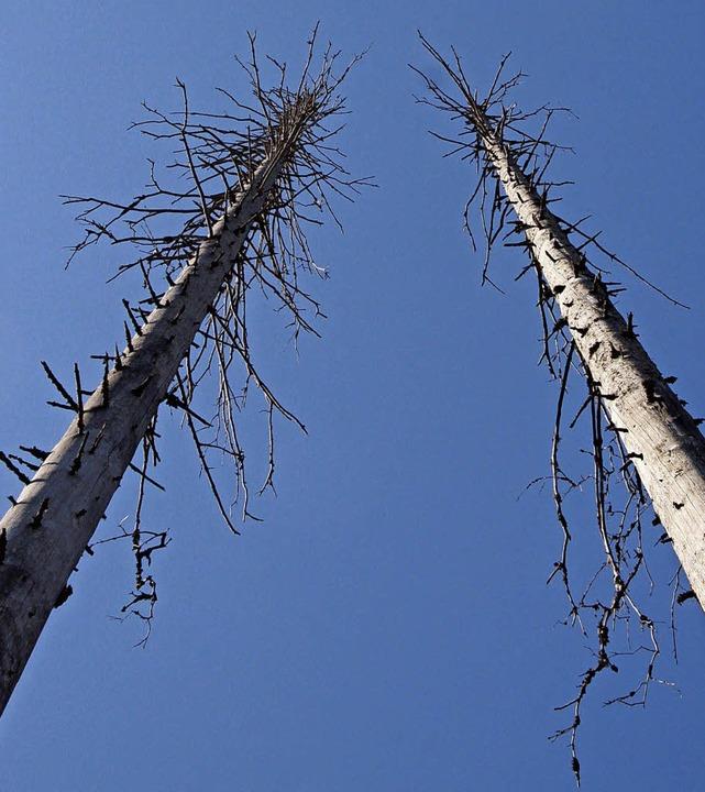 Kahle, weiße Baumskelette ragen in den blauen Himmel.    Foto: Max Schuler