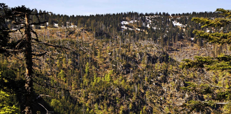 Streichholzlandschaft: Viele Bäume im Bannwald Napf knickten um.    Foto: Max Schuler