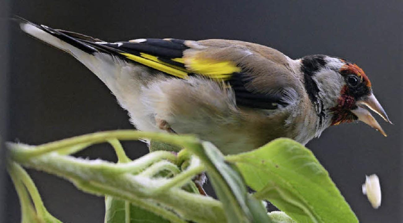 Der Stieglitz oder auch Distelfink ist Vogel des Jahres.   | Foto: dpa
