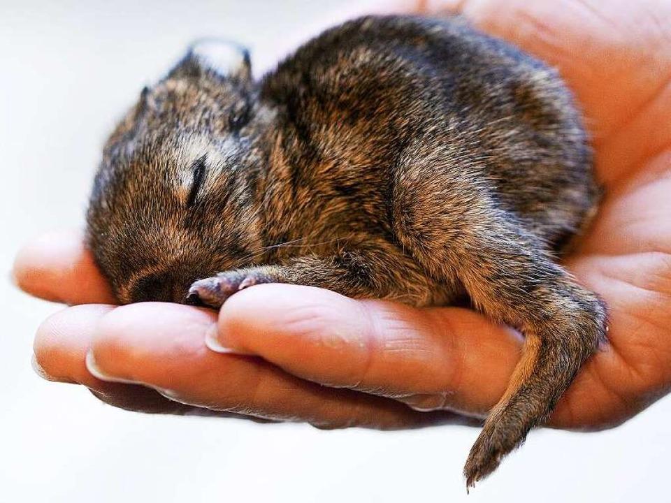 Ein kleines Kaninchen ist süß, Hunderte können zur Plage werden.  | Foto: dpa