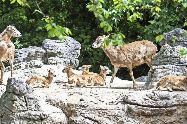 Mufflon-Nachwuchs im Basler Zoo