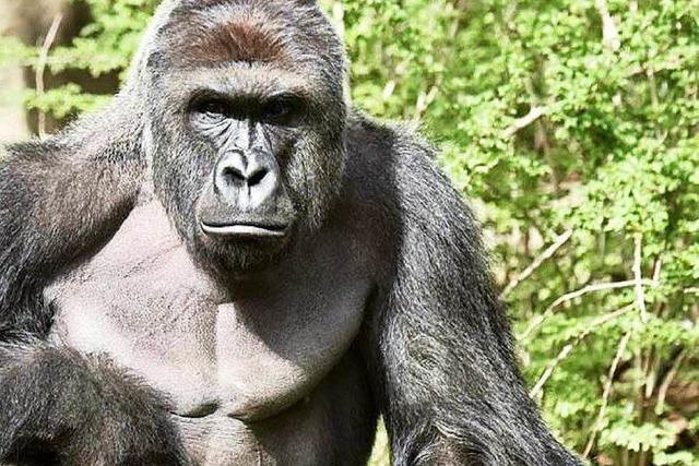 Abschuss von Gorilla Harambe erregt die Gemüter