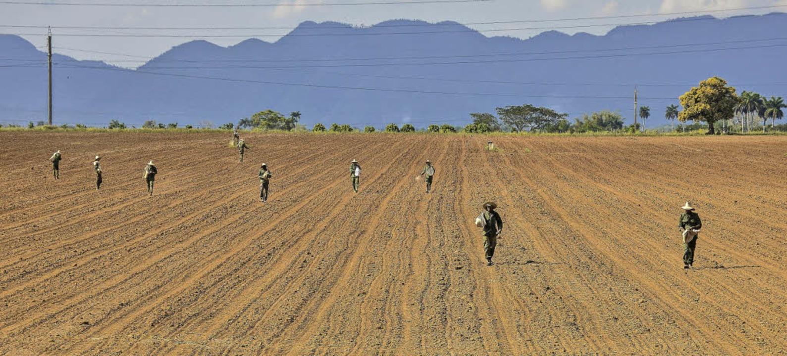 In Kubas Landwirtschaft fehlen noch Maschinen – vieles ist Handarbeit.   | Foto: AFP / Lichterbeck(2)