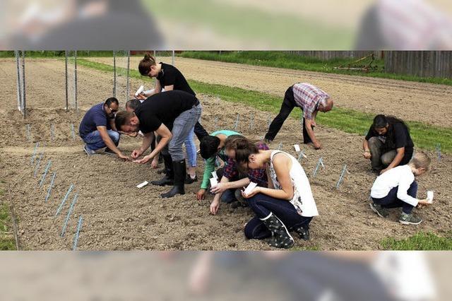 14 Sojasorten werden in Eichstetten im Anbau getestet