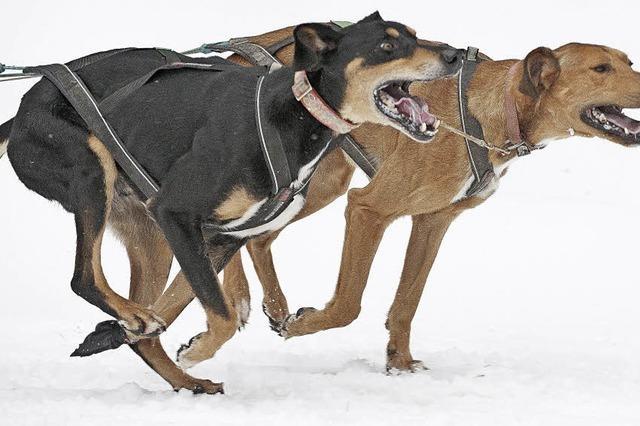 Schlittenhunderennen weiterhin jedes Jahr