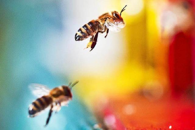 Bienenvolk mit 15.000 Tieren lässt sich vor der Kirche nieder