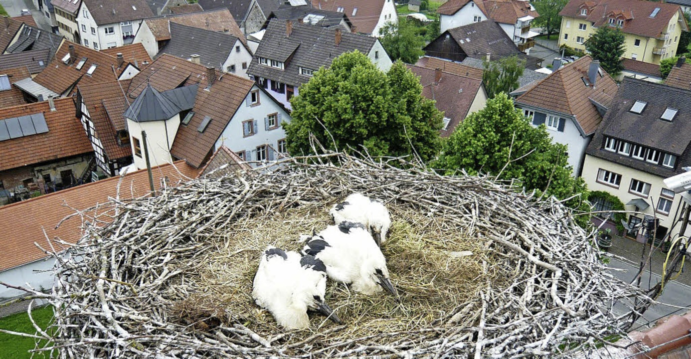 Über Bötzingens Dächern wurden  drei J...htzeitig vor dem Flüggewerden beringt.  | Foto: horst david