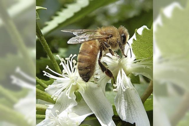 Bienenhonig zum Probieren