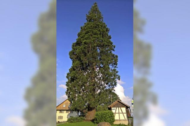 Mammutbaum steht für den Rekord