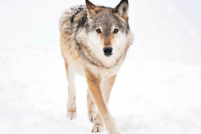 Wolfsberatungszentrum nimmt in Görlitz Arbeit auf