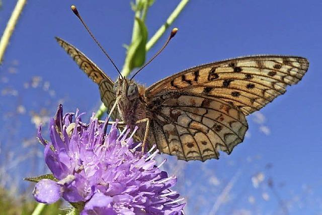 Unter fachlicher Leitung auf dem Feldberg Schmetterlinge beobachten