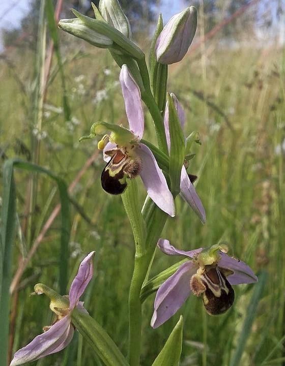 <BZ-FotoAnlauf>Wilde Orchidee: </BZ-Fo... Gabriele Schurig inmitten einer Wiese  | Foto: Wunderle