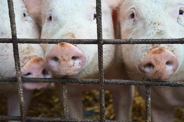 Mehr als 500 Schweine bei Großbrand in Kehl verendet