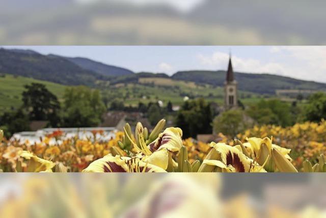Taglilien-Tag in Sulzburg-Laufen