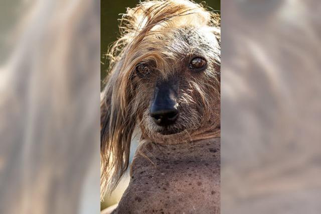 Der hässlichste Hund gewinnt