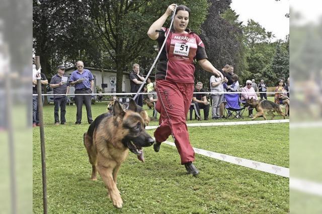 131 Deutsche Schäferhunde waren bei der Landesgruppenzuchtschau in Lehen
