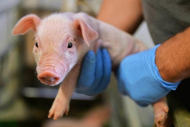 Umstrittener Züchter darf keine Schweine halten