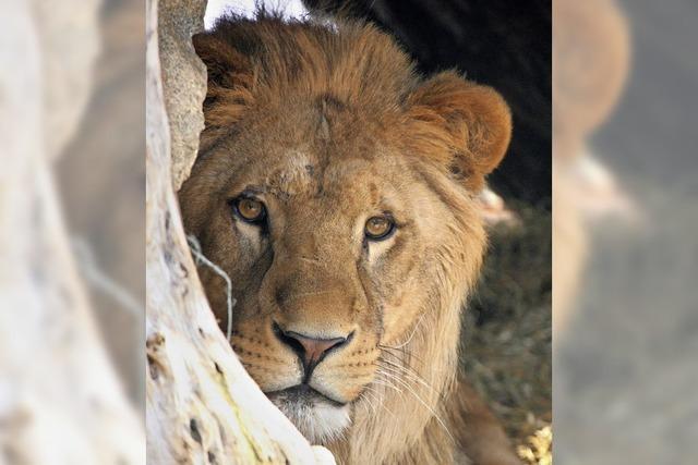 Ausgebüxte Löwen halten Polizei bei Berlin auf Trab