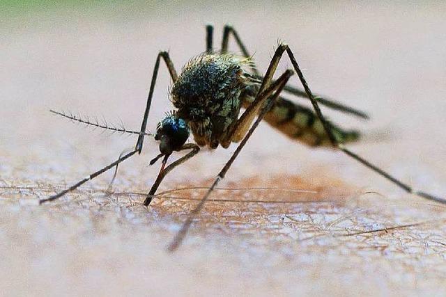 Plagegeister: Warum 2016 in der Region ein Mückenjahr ist