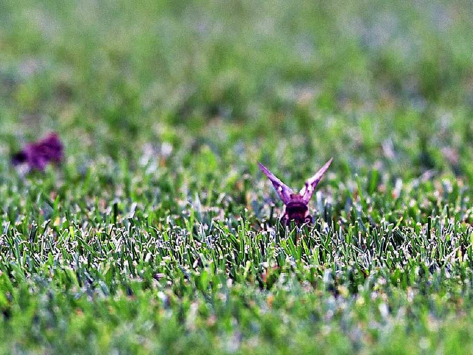 Motten auf dem Rasen im Stade de France  | Foto: dpa