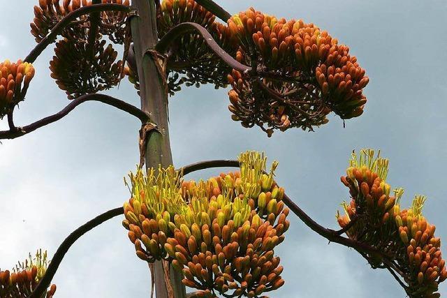 Agave in Marcher Garten treibt vier Meter hohe Blüte