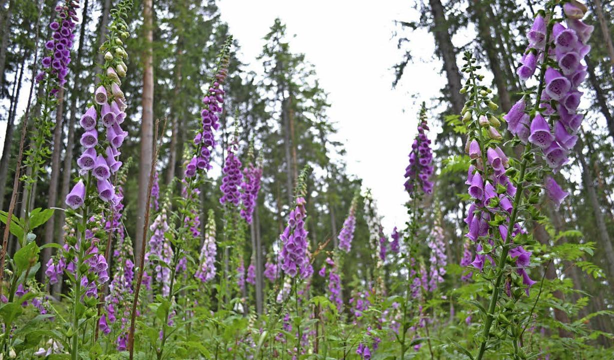 Üppige Blütenpracht des Fingerhutes is...en Wäldern um Friedenweiler zu sehen.   | Foto: Liane Schilling