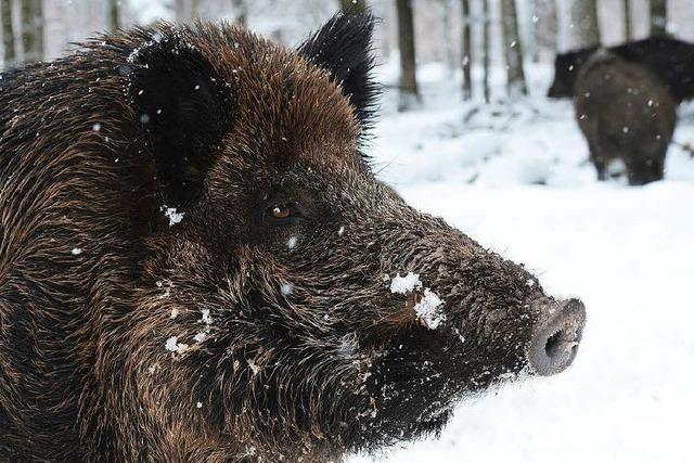Wildschweine dürfen auch im Winter geschossen werden
