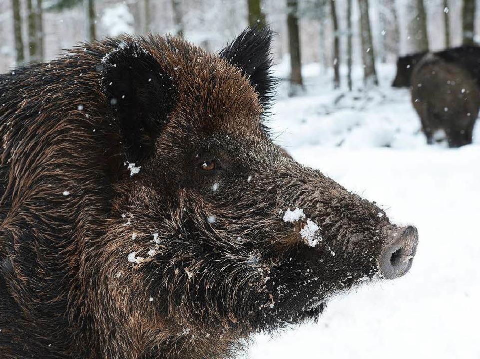 Wildschein im Schnee.  | Foto: dpa