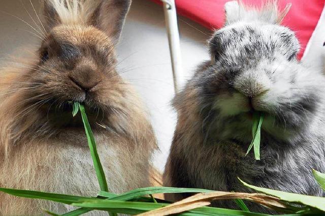 Die Chinaseuche bedroht Kaninchen in Südbaden