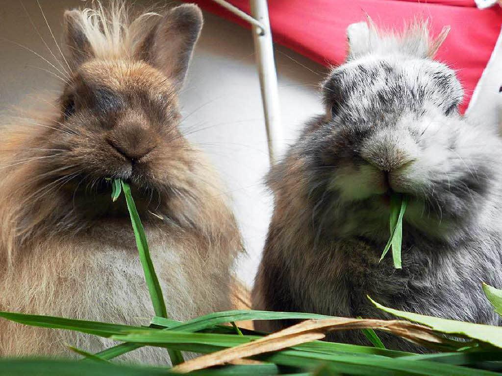 Chinaseuche Kaninchen Schlachten