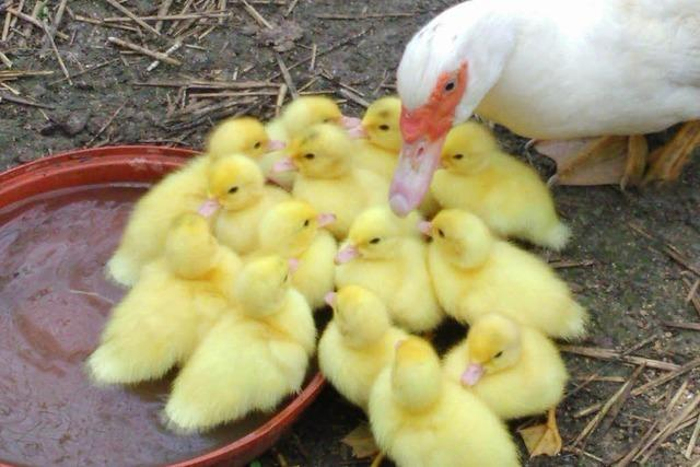 Enten fallen in mit Wasser gefüllte Güllegrube