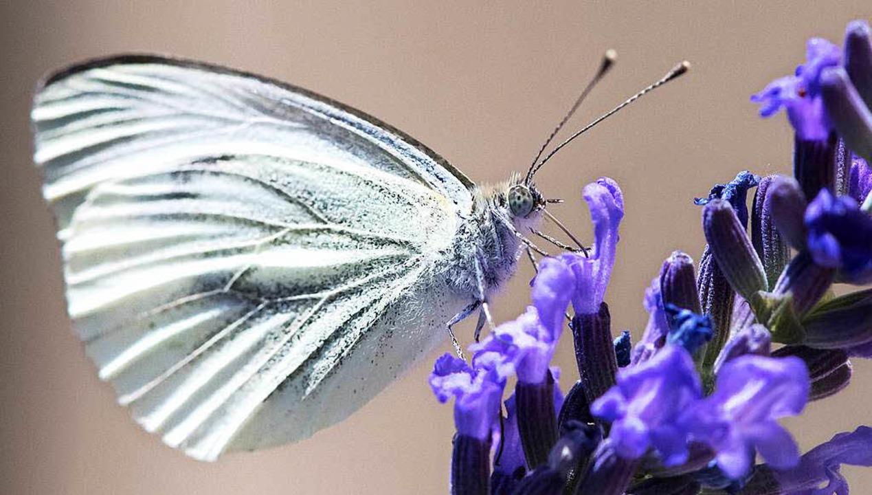 Schmetterlinge sind nicht nur hübsch, ..., Raps oder Birnen enorm wichtig sind.    Foto: dpa