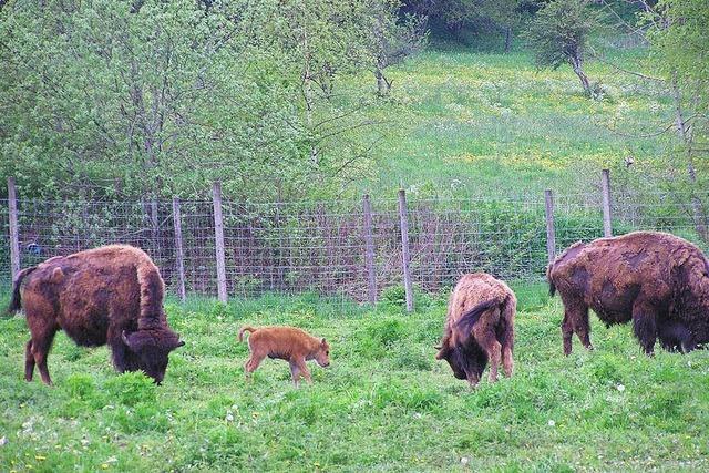 Warum konnten die Bisons ausbrechen? Parksprecher vermutet Sabotage