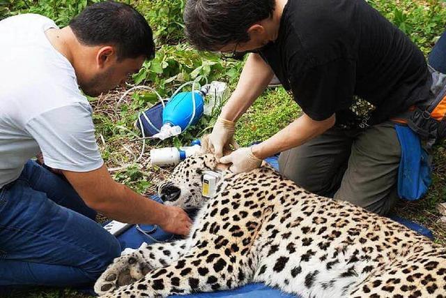 Erstmals persische Leoparden im Nordkaukasus ausgewildert