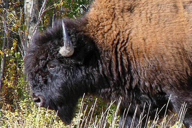 Raubtier-Experten durften bei Bison-Suche nicht helfen