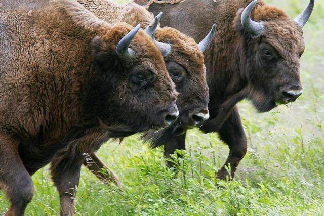 Zweiter Bison stirbt im Schwarzwaldpark– Ursache unklar
