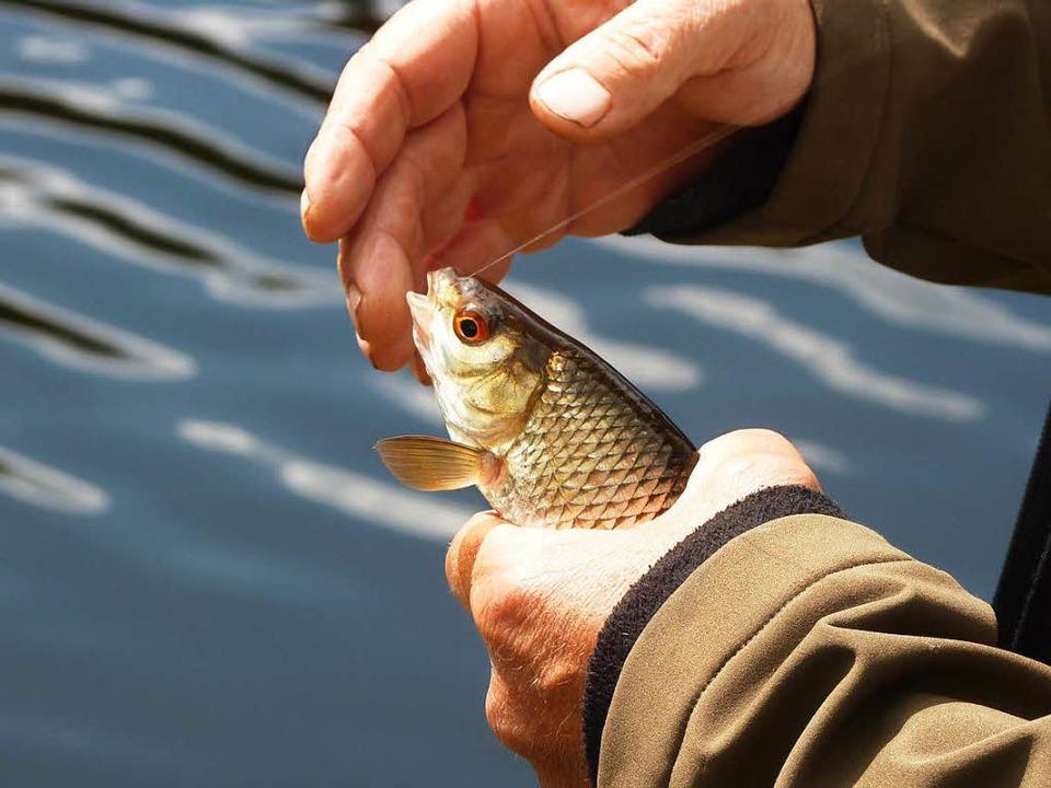 Die Ichenheimer Königsfischer sind von Peta angezeigt worden.  | Foto: Dirk Sattelberger