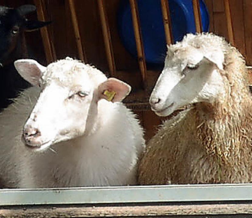 Die Schafe am Rössle-Hof führen ein glückliches Leben.  | Foto: Susanne Filz
