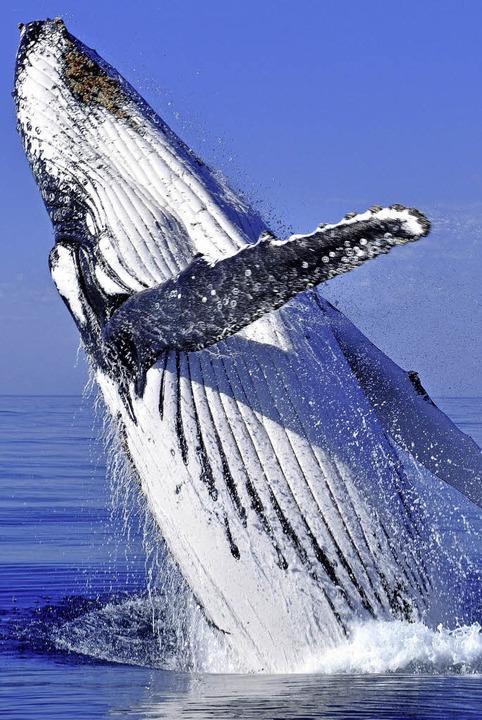 l rm von schiffen l sst buckelwale hungern panorama badische zeitung. Black Bedroom Furniture Sets. Home Design Ideas