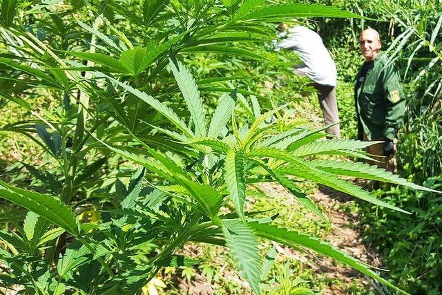 Polizei sucht Marihuana-Plantagen in den Maisfeldern im Süden Freiburgs