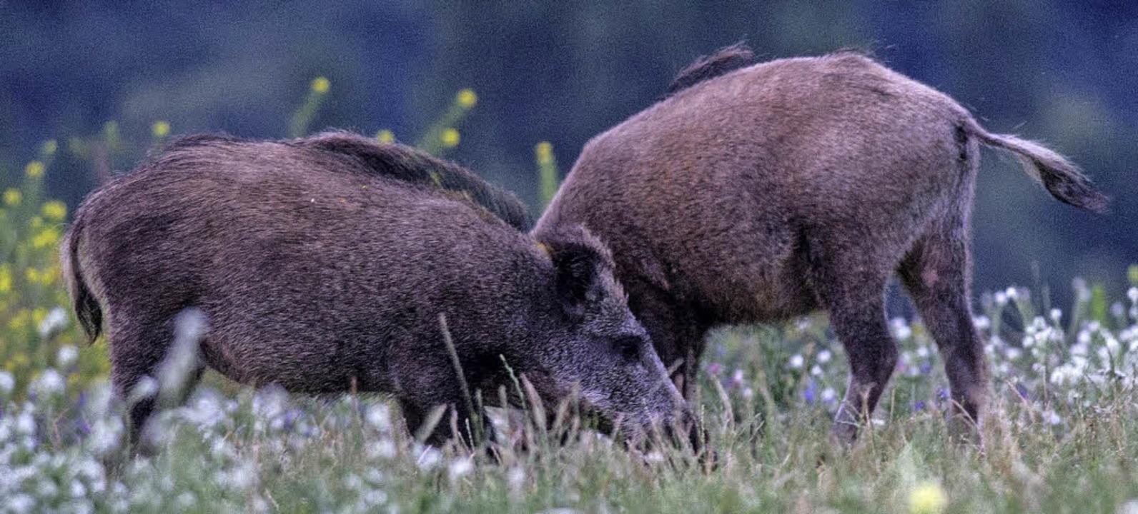 Wildschweine Maisfeld