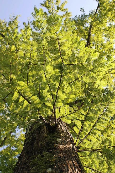 Das satte  Grün der Sumpf-Zypresse    Foto: Maja Tolsdorf