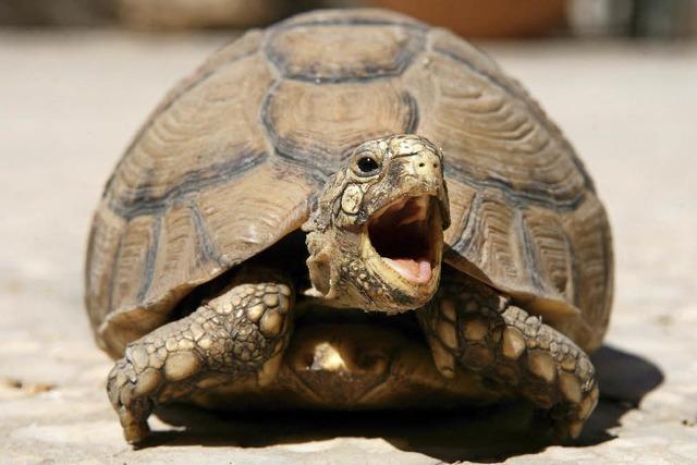 Drei Schildkröten in Wehr entlaufen